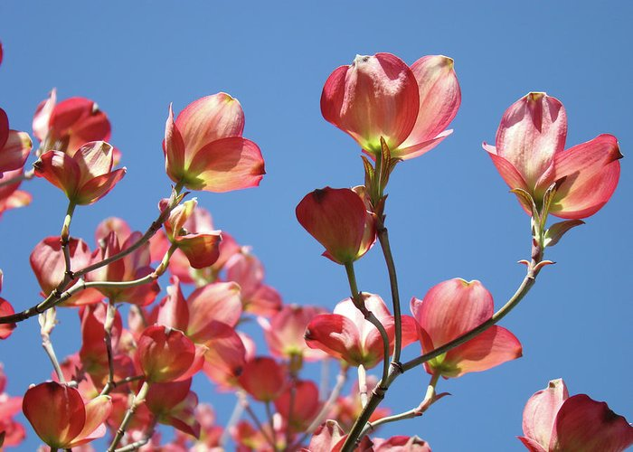 Dogwood Greeting Card featuring the photograph Blue Sky Art Prints Pink Dogwood Flowers 16 Dogwood Tree Art Prints Baslee Troutman by Baslee Troutman