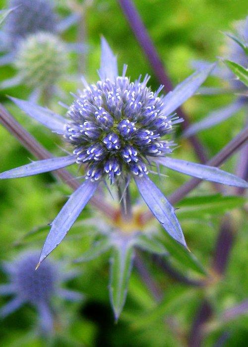 Eryngium Greeting Card featuring the photograph Blue Star by Barbara White