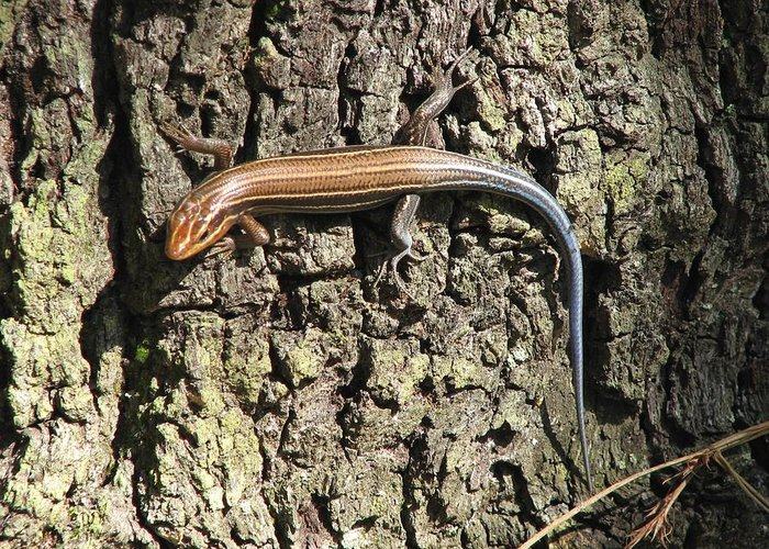 Blue Tailed Skink Greeting Card featuring the photograph Blue Tailed Skink by J M Farris Photography