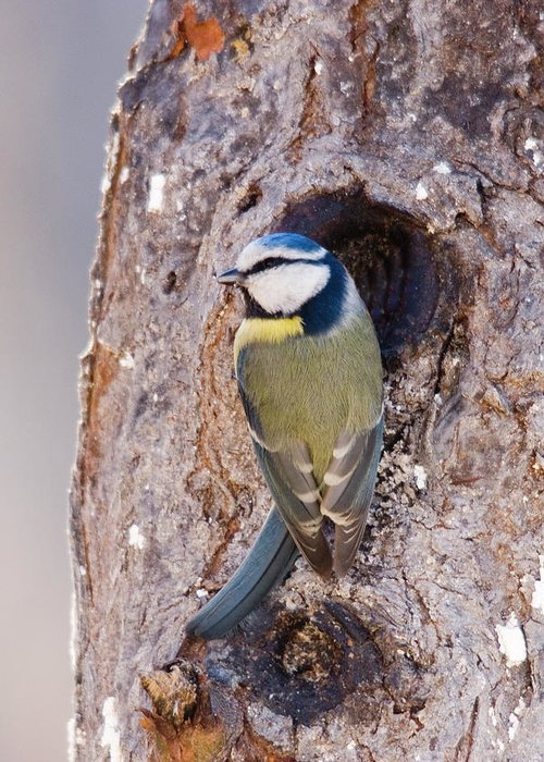 Nest Hole In Tree Greeting Card featuring the photograph Blue Tit Leaving Nest by Cliff Norton