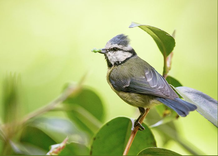 Blue Tit Greeting Card featuring the photograph Blue Tit With Caterpillar by Alan Grant