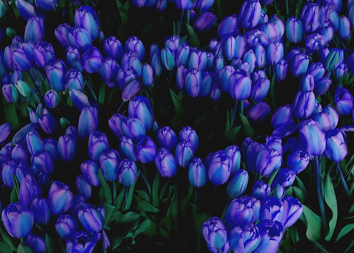 Blue Greeting Card featuring the photograph Blue Tulips by Tom Reynen
