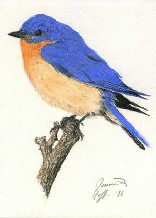 Bird Greeting Card featuring the drawing Bluebird by Jesska Hoff