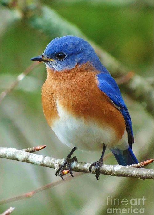 Carolina bluebird greeting cards fine art america carolina bluebird greeting cards m4hsunfo