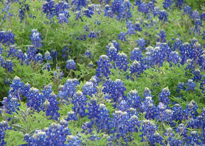 Landscape Greeting Card featuring the photograph Bluebonnet Bliss by Shiana Canatella