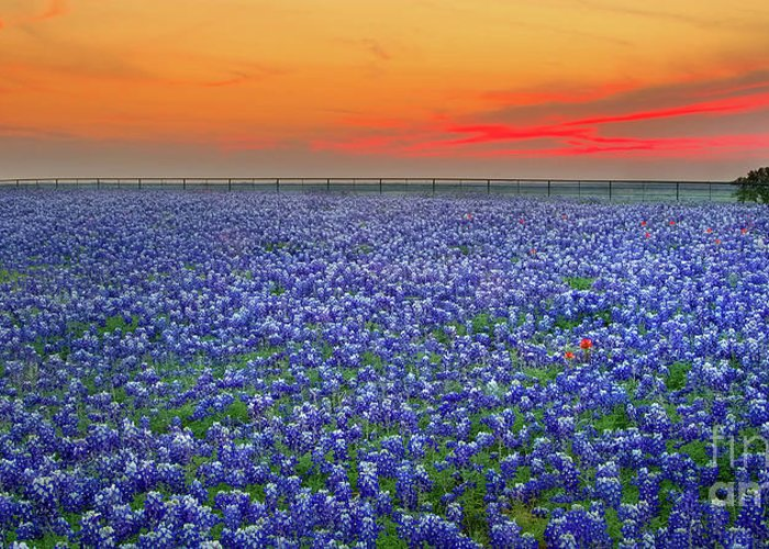 Texas Wild Flowers Greeting Cards