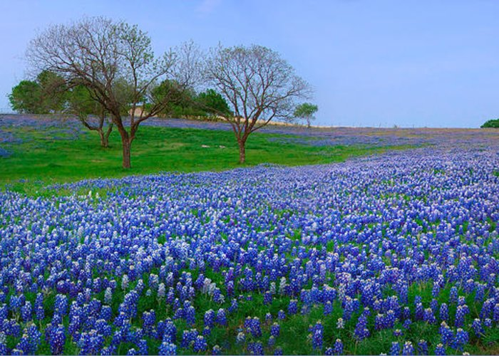 Spring Greeting Card featuring the photograph Bluebonnet Vista - Texas Bluebonnet Wildflowers Landscape Flowers by Jon Holiday