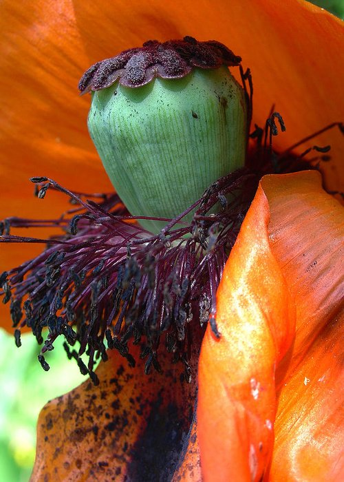Poppy Greeting Card featuring the photograph Boa And Bonnet Of Madame Poppy by Terrance DePietro