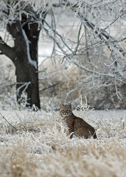 Bobcat Greeting Card featuring the photograph Bobcat And Heavy Frost by Gary Langley