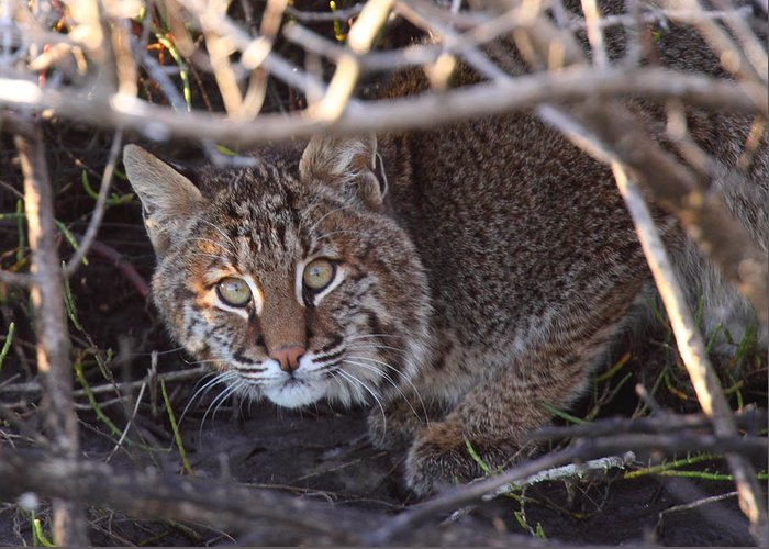 Bobcat Greeting Card featuring the photograph Bobcat by Bruce J Robinson