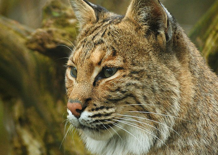 Bobcat Greeting Card featuring the photograph Bobcat by Dick Wood