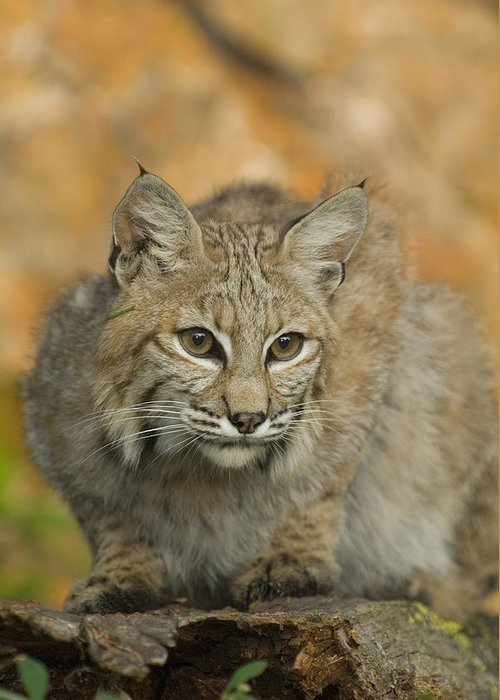 Alertness Greeting Card featuring the photograph Bobcat Felis Rufus by Grambo Photography and Design Inc.