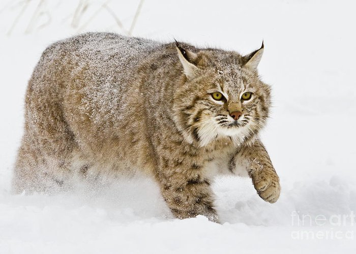 Bobcat Greeting Card featuring the photograph Bobcat In Snow by Jerry Fornarotto