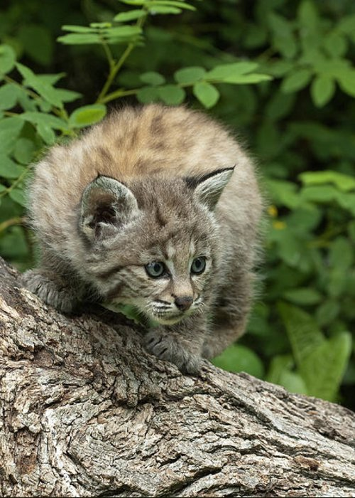 Bobcat Greeting Card featuring the photograph Bobcat Kitten Exploration by Sandra Bronstein