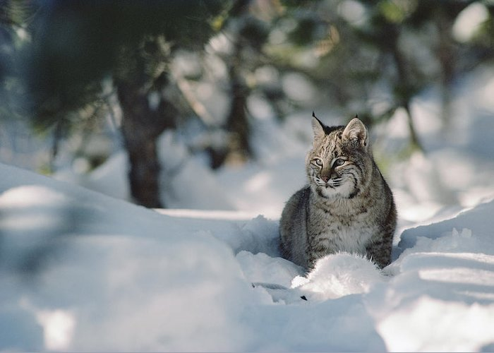 Mp Greeting Card featuring the photograph Bobcat Lynx Rufus Adult Resting In Snow by Michael Quinton