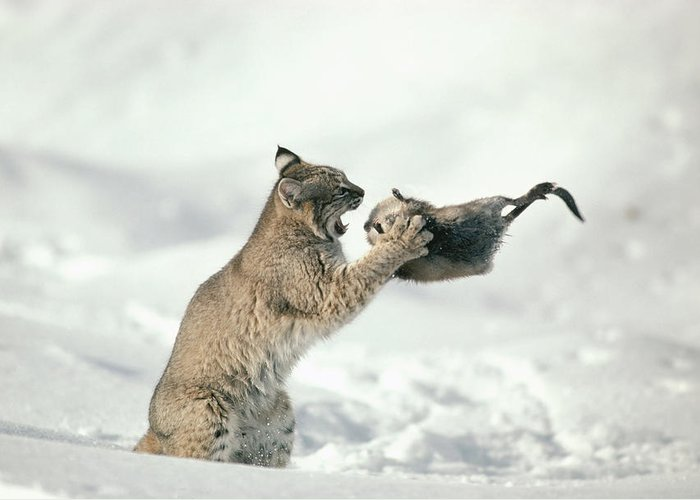 Mp Greeting Card featuring the photograph Bobcat Lynx Rufus Capturing Muskrat by Michael Quinton