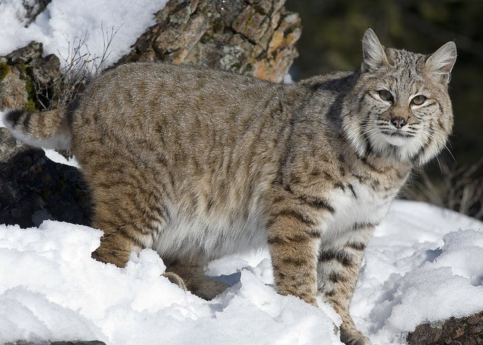 Mp Greeting Card featuring the photograph Bobcat Lynx Rufus In The Snow by Matthias Breiter