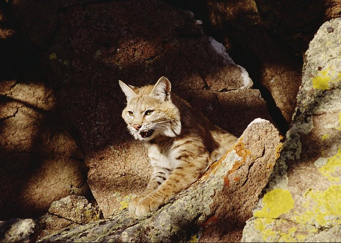 Mp Greeting Card featuring the photograph Bobcat Lynx Rufus Portrait On Rock by Gerry Ellis