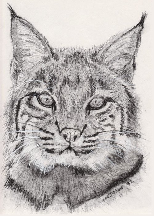 Nature Greeting Card featuring the drawing Bobcat by Marqueta Graham
