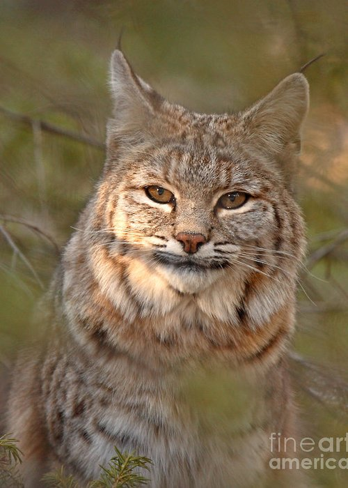 Bobcat Greeting Card featuring the photograph Bobcat Portrait Surrounded By Pine by Max Allen