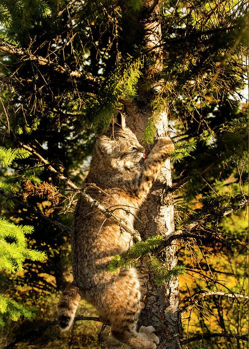 Bobcat Greeting Card featuring the photograph Bobcat up a tree by Roy Nierdieck