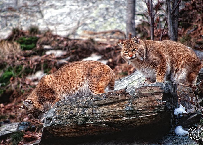 Bobcats Greeting Card featuring the photograph Bobcats On The Loose by Brad Hoyt