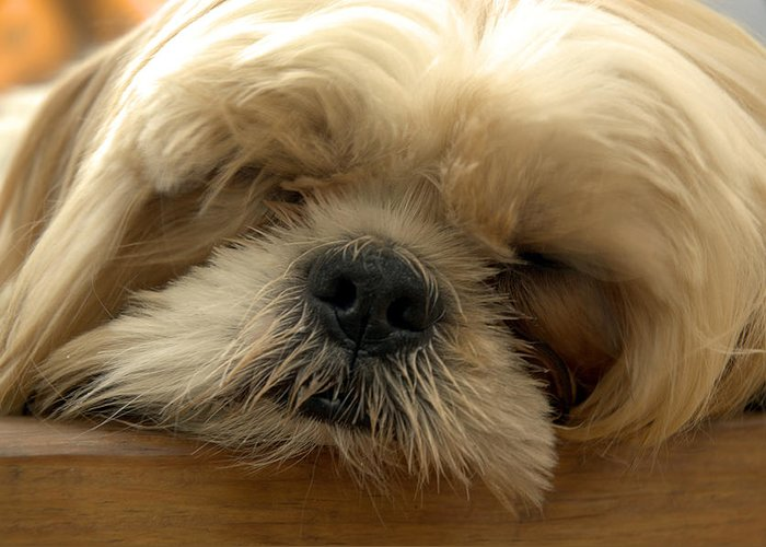 Dog Greeting Card featuring the photograph Bogie Asleep by Kathi Shotwell