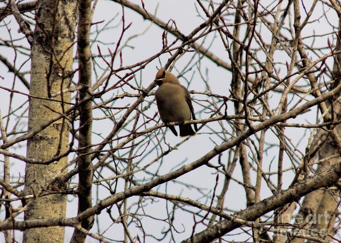 Waxwing Greeting Card featuring the photograph Bohemian Waxwing by William Tasker