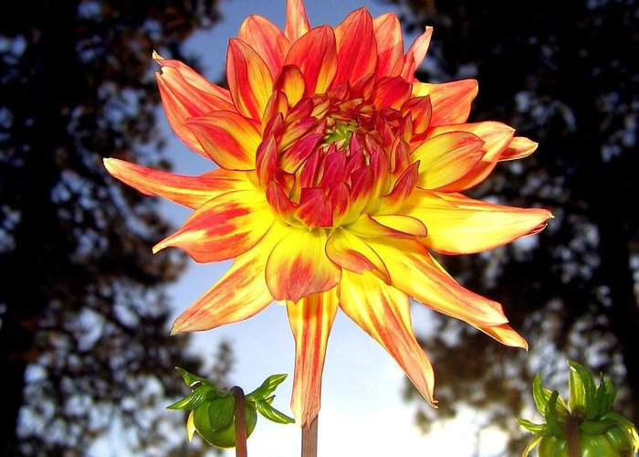 Dahlia Greeting Card featuring the photograph Bold And Beautiful by Will Borden