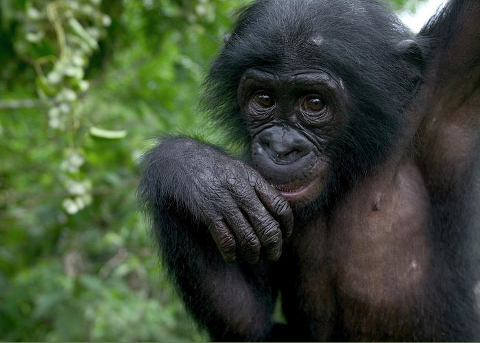Mp Greeting Card featuring the photograph Bonobo Pan Paniscus Juvenile Orphan by Cyril Ruoso