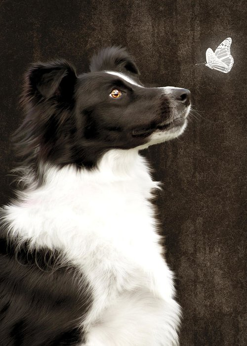 Dog Greeting Card featuring the photograph Border Collie Dog Watching Butterfly by Ethiriel Photography