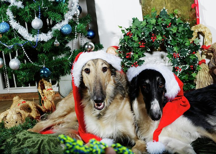 Merry Christmas Puppies.Borzoi Puppies Wishing A Merry Christmas Greeting Card
