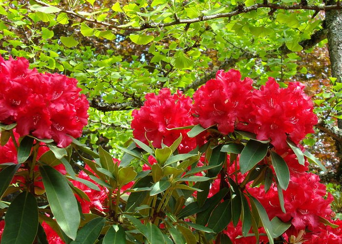 Rhodies Greeting Card featuring the photograph Botanical Garden Art Prints Red Rhodies Trees Baslee Troutman by Baslee Troutman