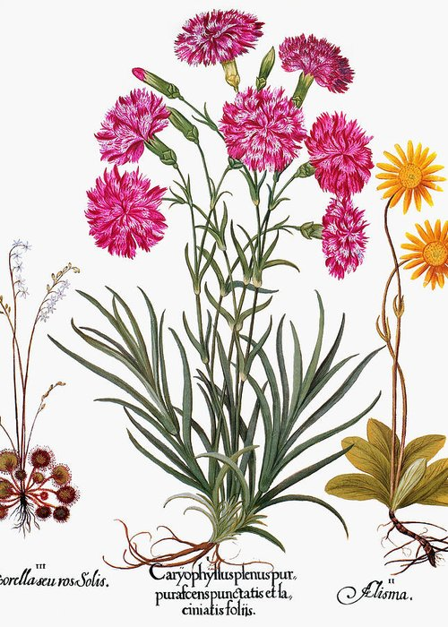 1613 Greeting Card featuring the photograph Botany: Flowers, 1613 by Granger