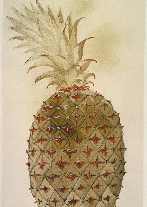 1585 Greeting Card featuring the photograph Botany: Pineapple, 1585 by Granger