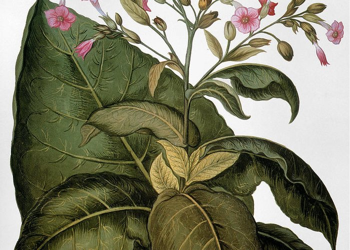1613 Greeting Card featuring the photograph Botany: Tobacco Plant by Granger