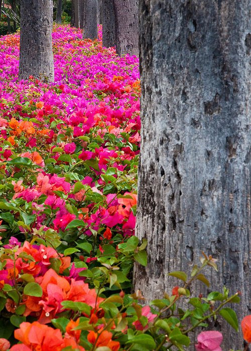 Blossoms Greeting Card featuring the photograph Bougainvillea Forever by Eggers Photography