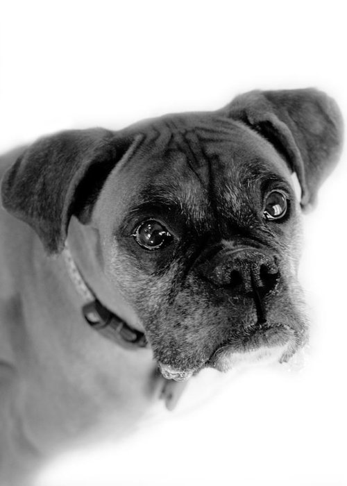 Boxer Greeting Card featuring the photograph Boxer Dog by Marilyn Hunt
