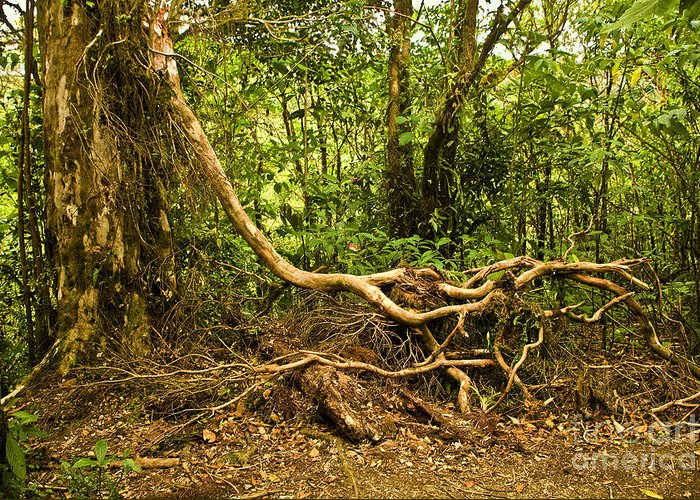 Tree Greeting Card featuring the photograph Branching Out In Costa Rica by Madeline Ellis