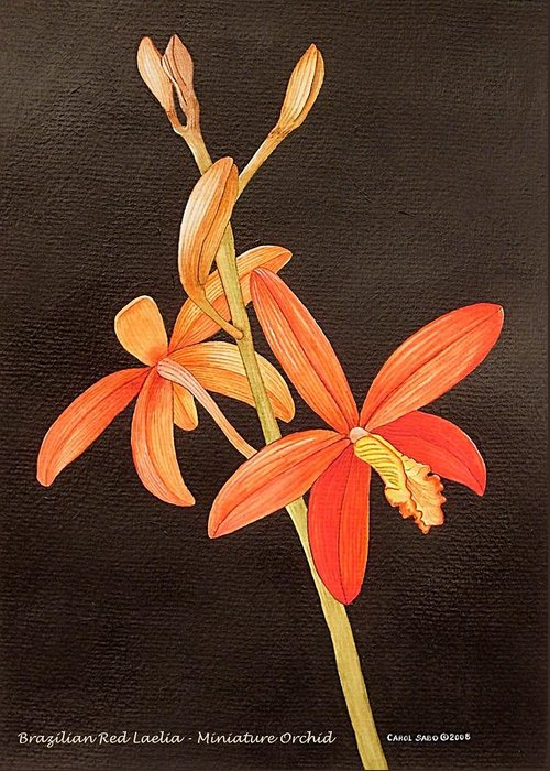 Art Greeting Card featuring the painting Brazilian Red Laelia-miniature Orchid by Carol Sabo