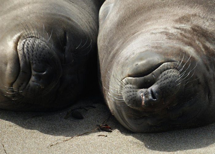 Elephant Seals Greeting Card featuring the photograph Break Time by Ernie Echols