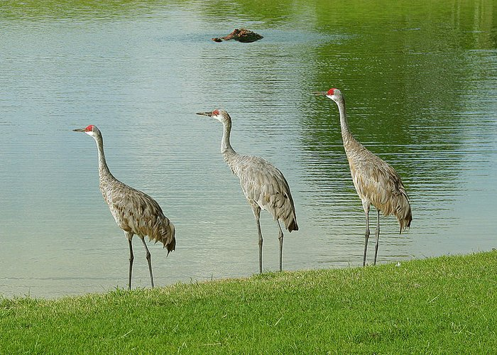 Sandhill Cranes Greeting Card featuring the photograph Breakfast Lunch And Dinner by Adele Moscaritolo