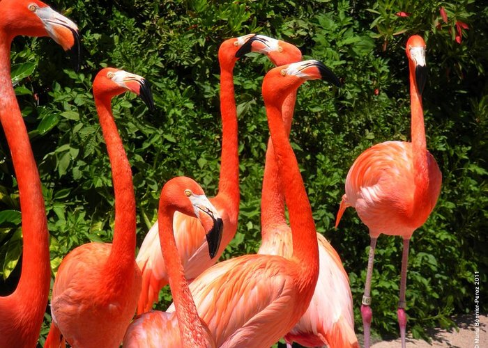Flamingo Greeting Card featuring the photograph Bright Flamingos by Maria Bonnier-Perez