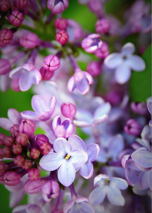 Lilac Greeting Card featuring the photograph Bright Lilacs by The Forests Edge Photography - Diane Sandoval