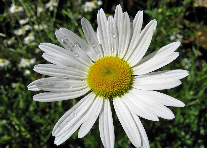 Bright Greeting Card featuring the photograph Bright White Flower With Water Droplets by Shreeharsh Ambli