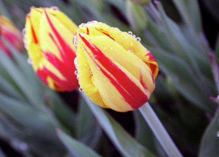 Tulips Greeting Card featuring the photograph Bright Yellow And Red Tulips by Kami McKeon