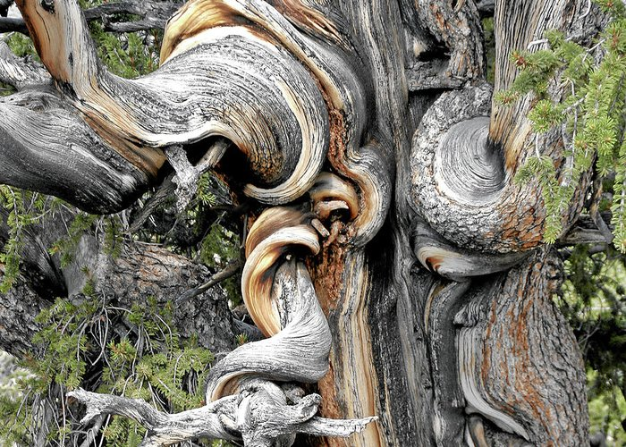 Bristlecone Pine Trees Greeting Card featuring the photograph Bristlecone Pine - 'i Am Not Part Of History - History Is Part Of Me' by Christine Till
