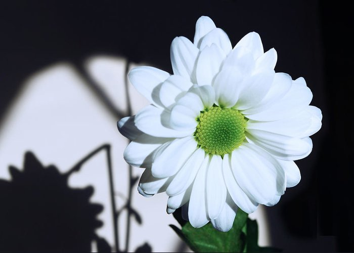 Chrysanthemum Greeting Card featuring the photograph Broken Shadow by Terence Davis