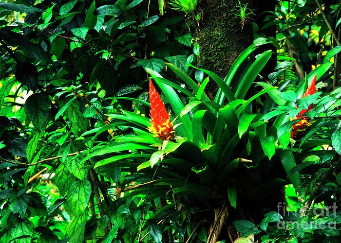 El Yunque National Forest Greeting Card featuring the photograph Bromeliads El Yunque by Thomas R Fletcher