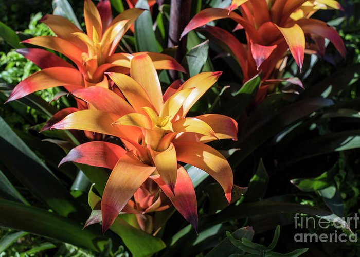 Succulent Greeting Card featuring the photograph Bromeliads by Judy Wolinsky
